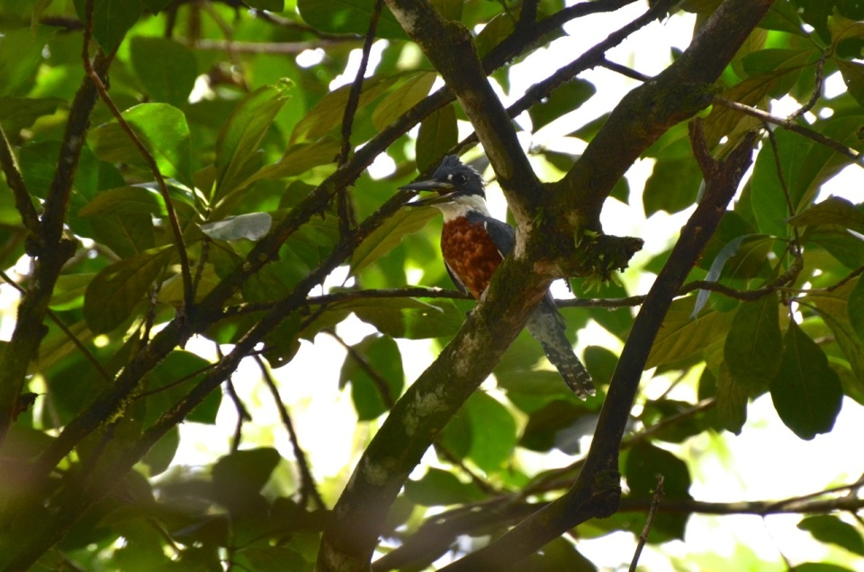 Amazon Kingfisher.