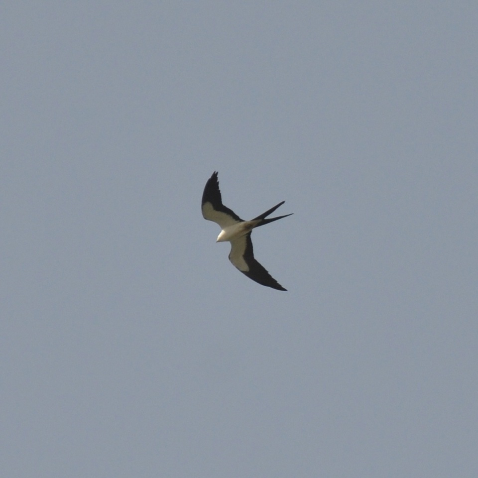 American Swallow-tailed Kite.