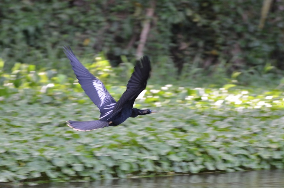 Anhinga flying away.