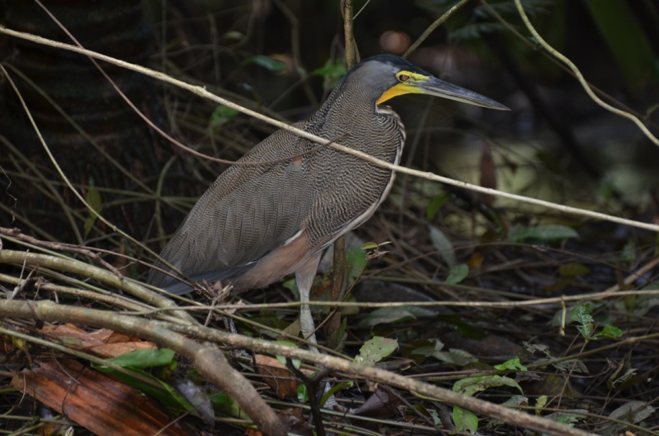 Bare-throated Tiger Heron.