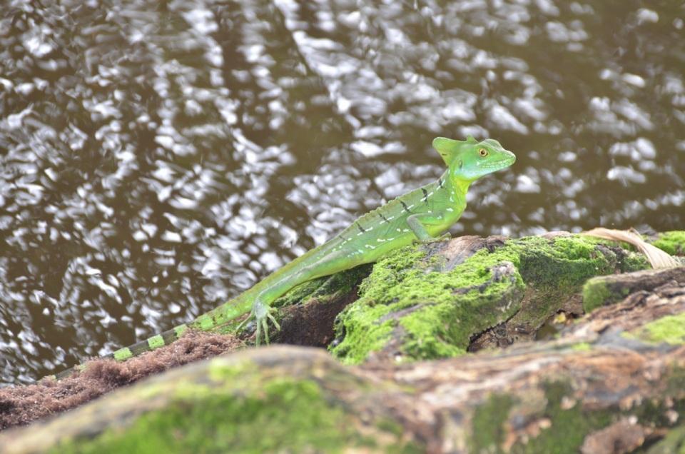 Green Basalisk.
