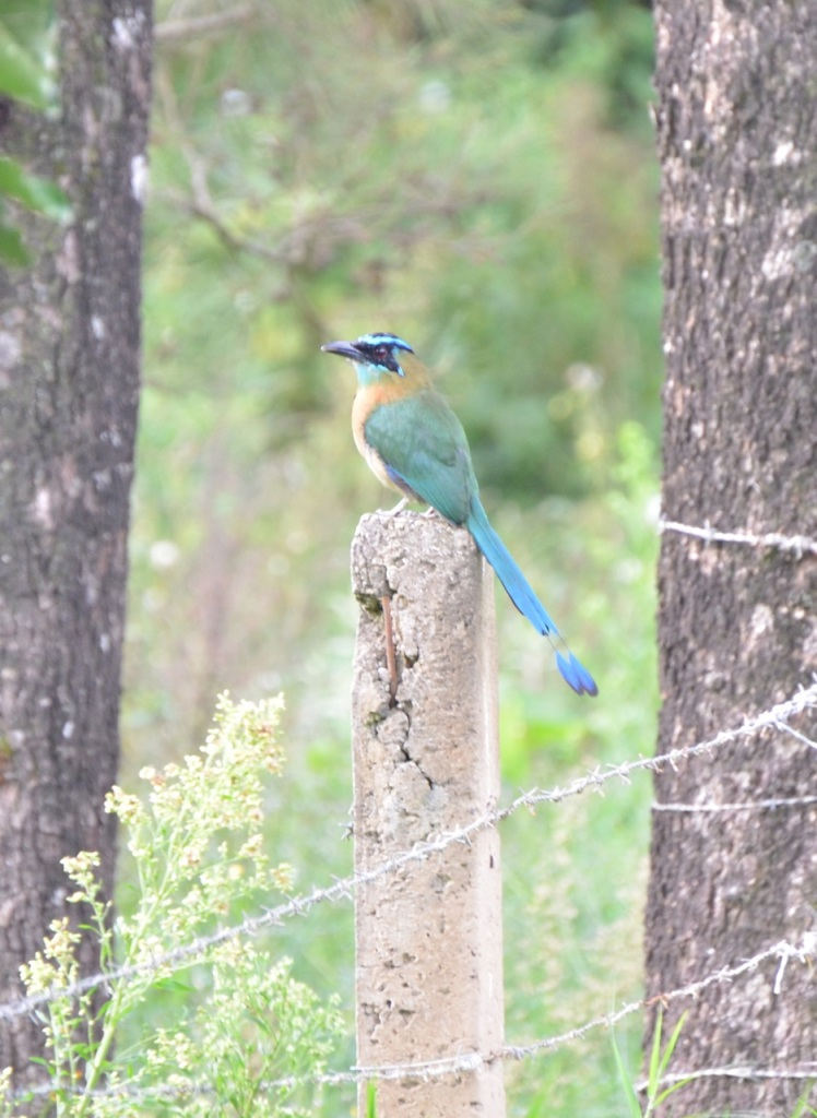 Blue-crowned Motmot.