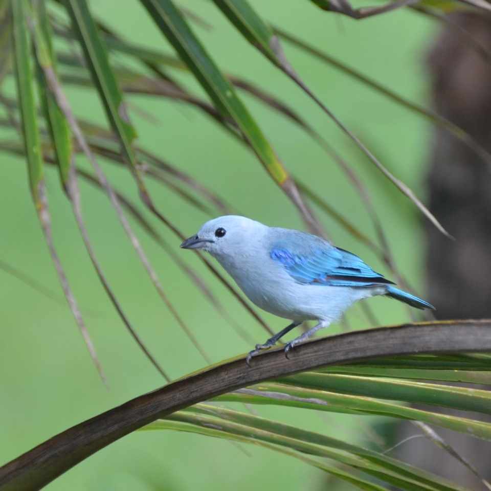 Blue-gray Tanager - Male.
