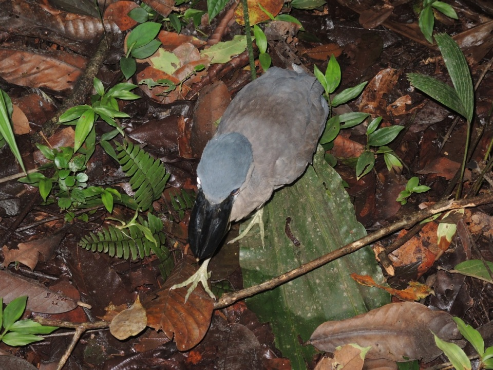 Boat-billed Heron.