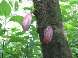Cacao fruit - they make chocolate from these.