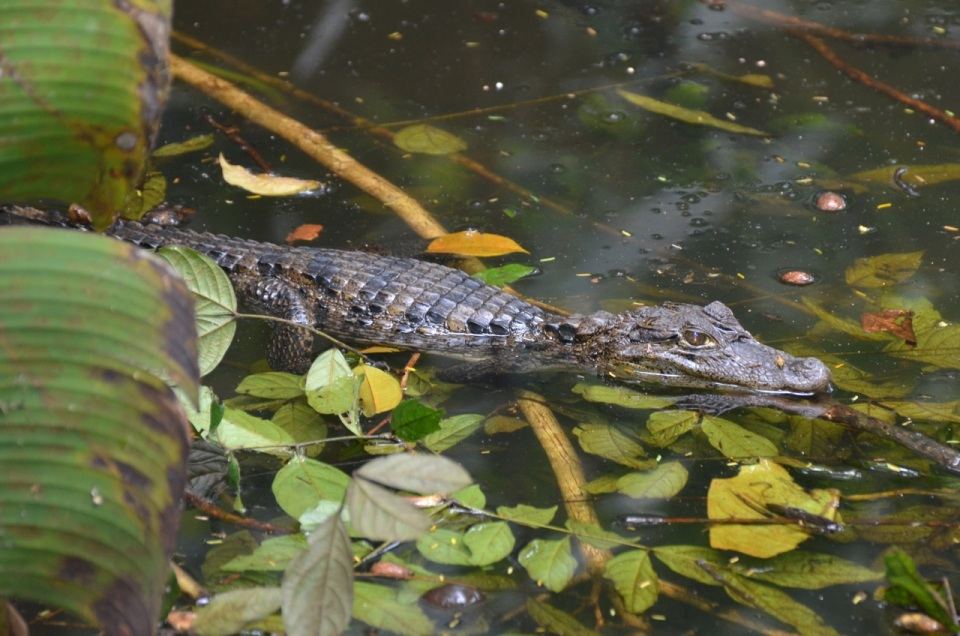 A Caiman in one of the small waterways at Evergreen Lodge.