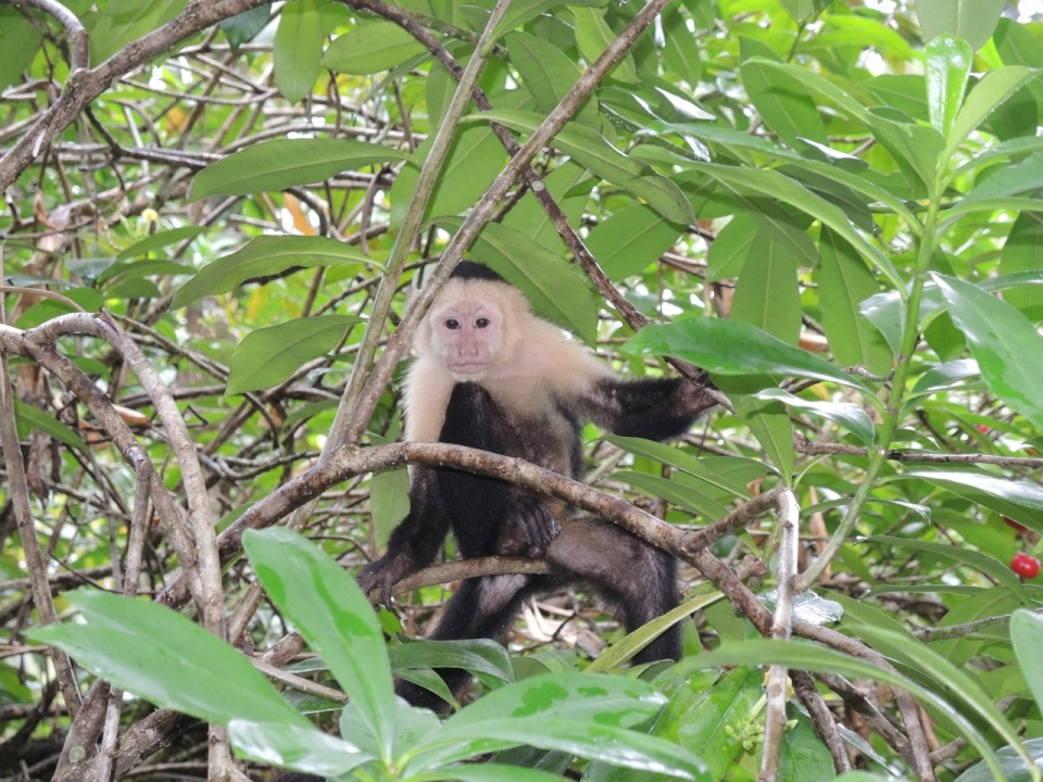 White-faced Capuchin.