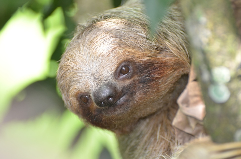 El Ceibo Sloth Coming to ground
