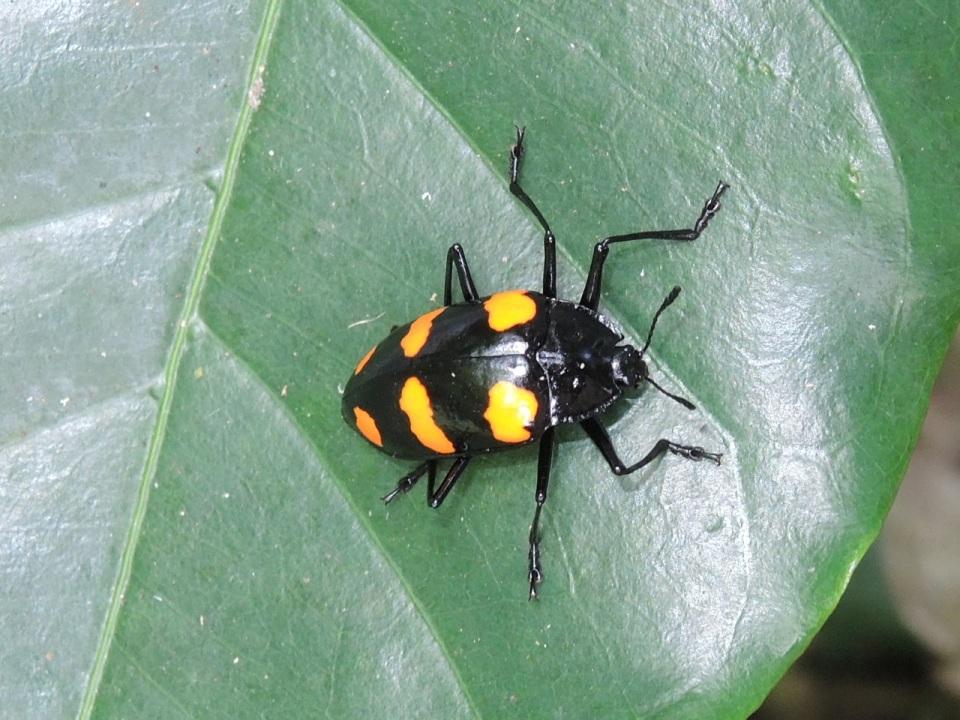 Erotylidae (Fungus Beetle).