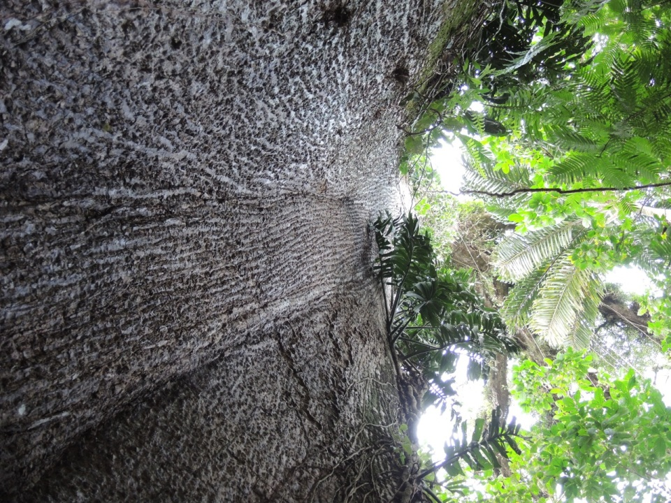 The trunk of a huge Ceiba tree on the restaurant property.
