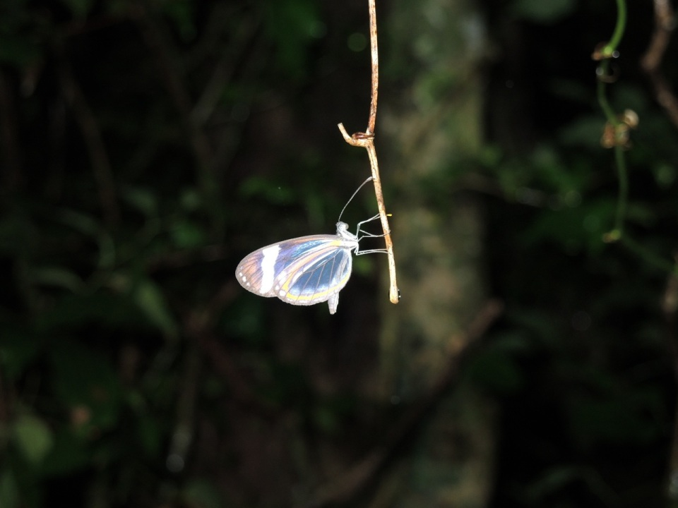 Glass-wing Butterfly.
