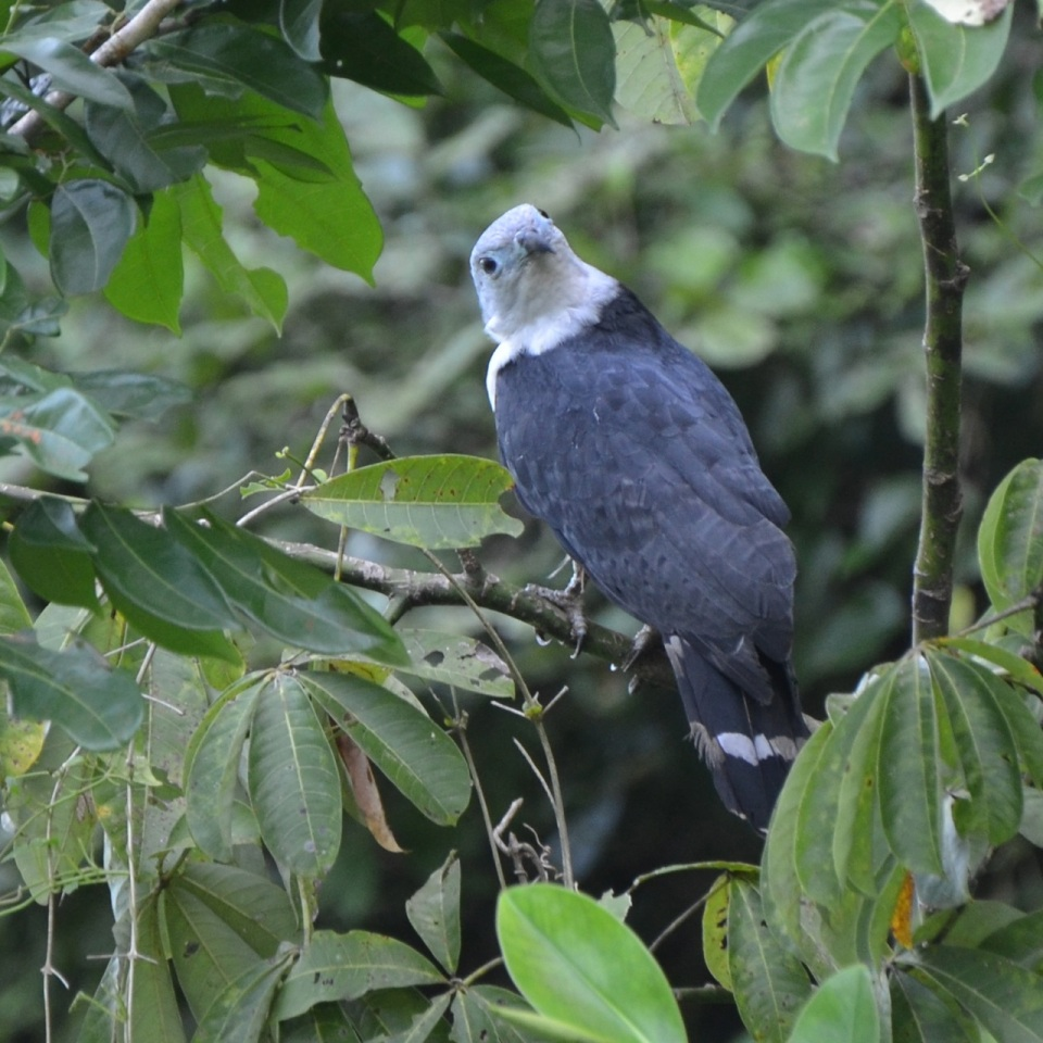 Gray-headed Kite 3
