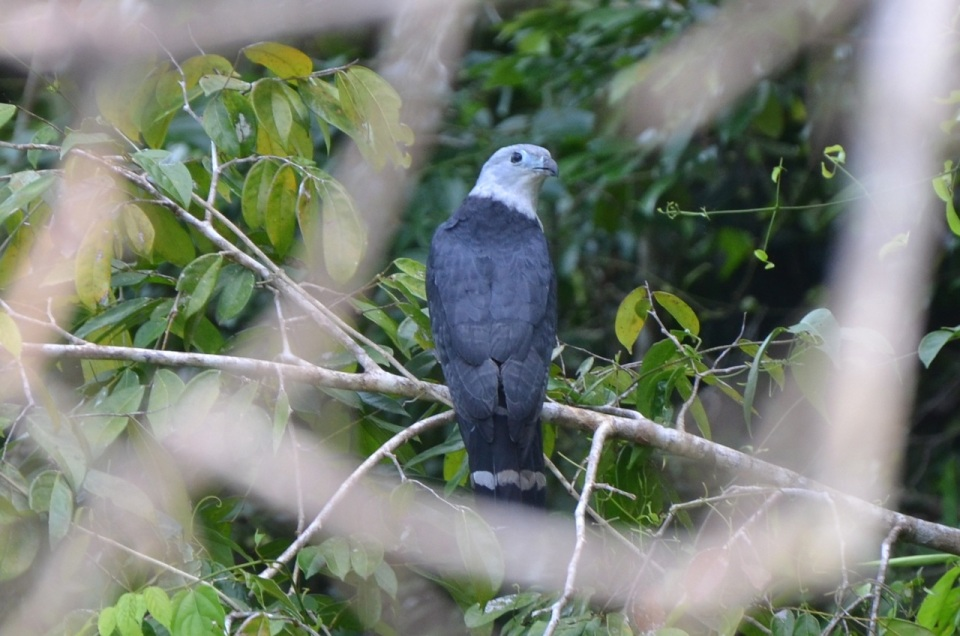 Gray-headed Kite.