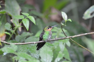 Immature Green-crowned Brilliant