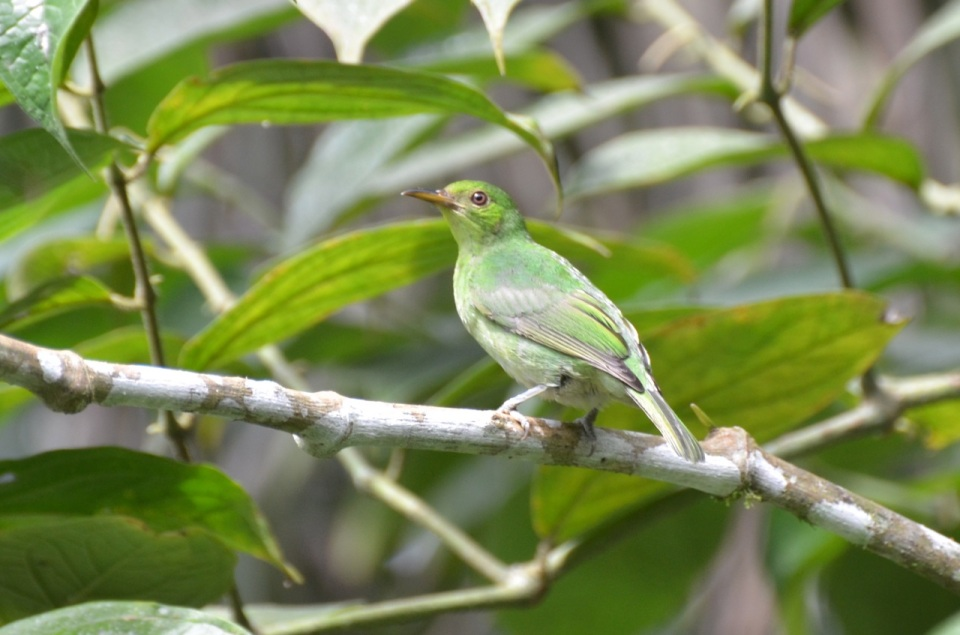 Female Green Honeycreeper.