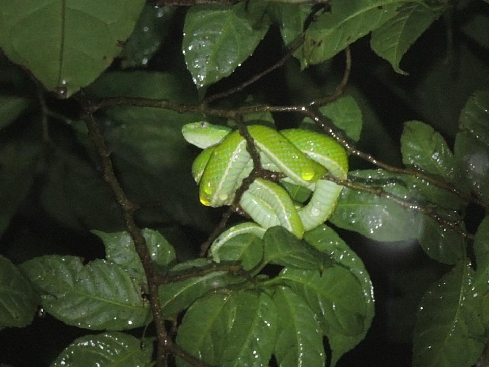 Green Palm Viper.