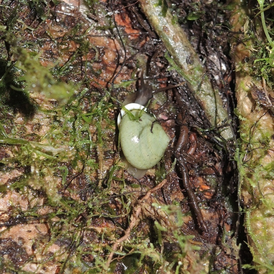 Green Snail...