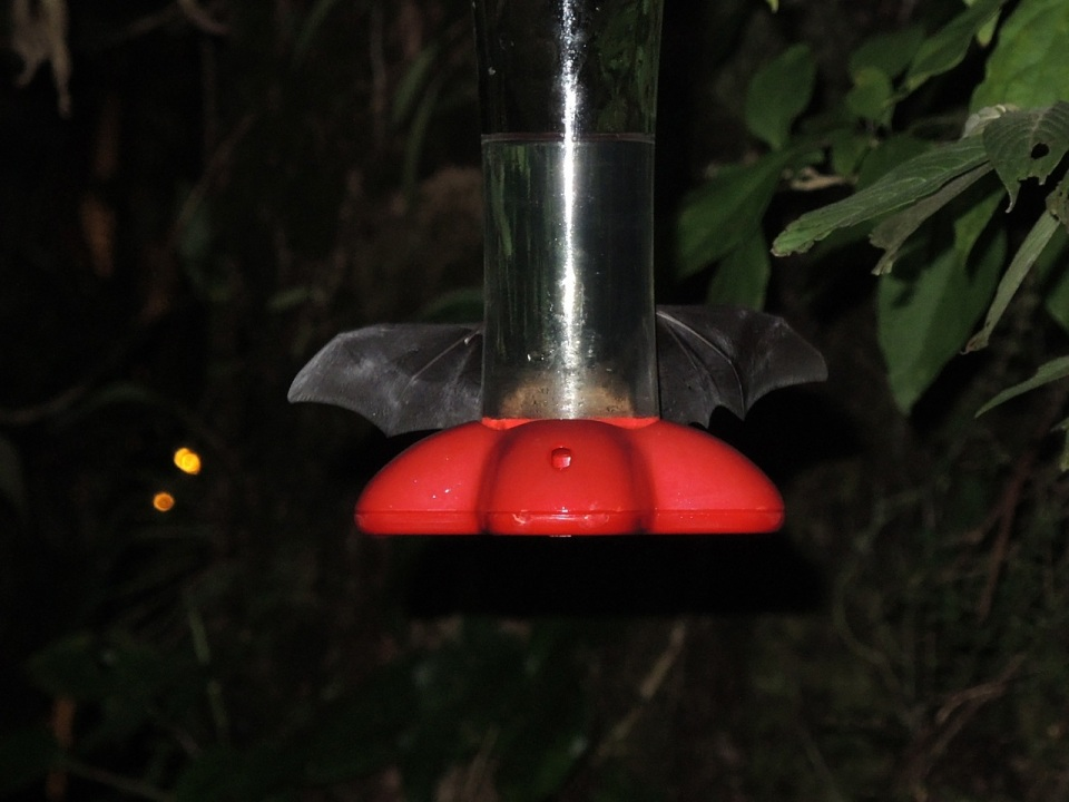 The amazing hummingbird-feeder mimicing bat.