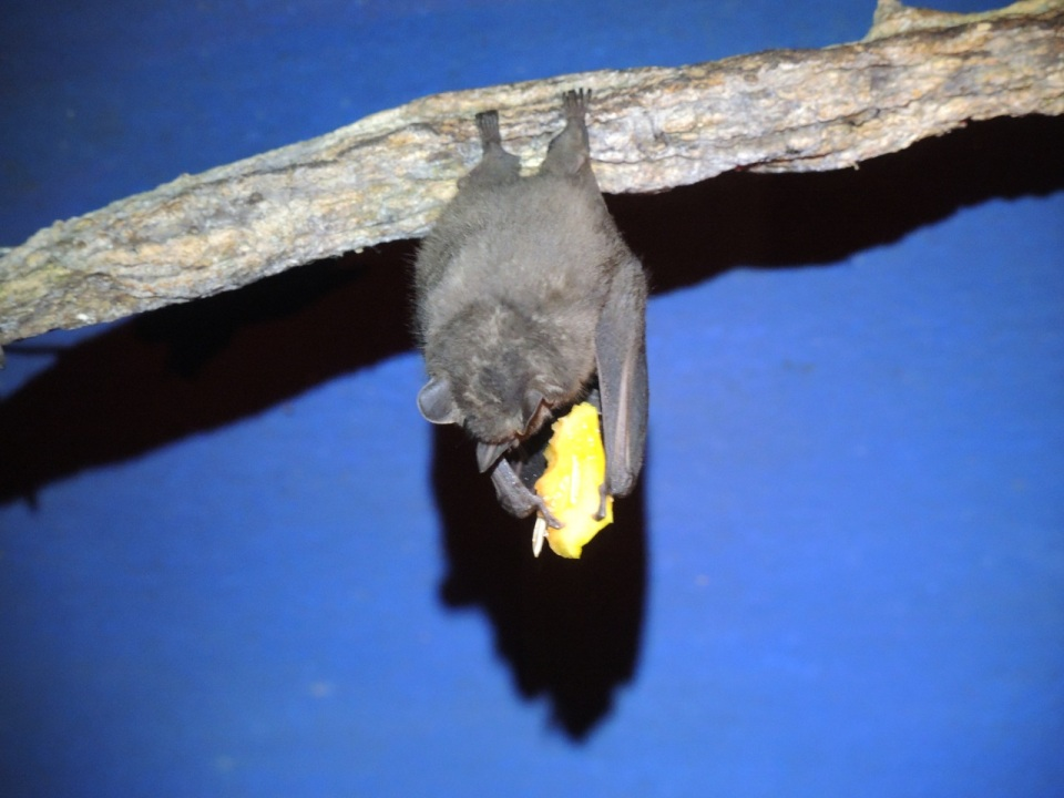 This is a hungry bat munching on some fruit.