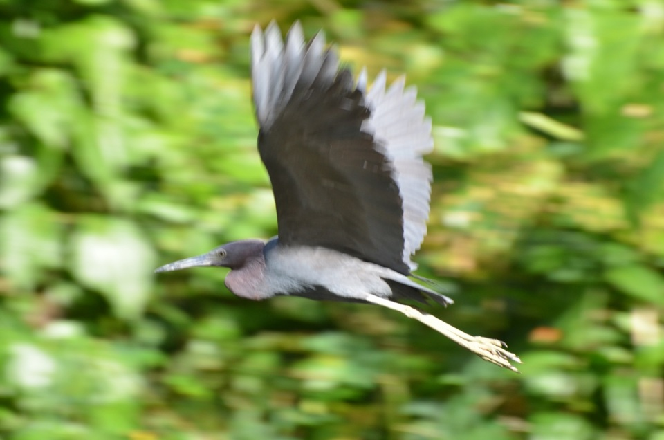 Little Blue Heron in flight.