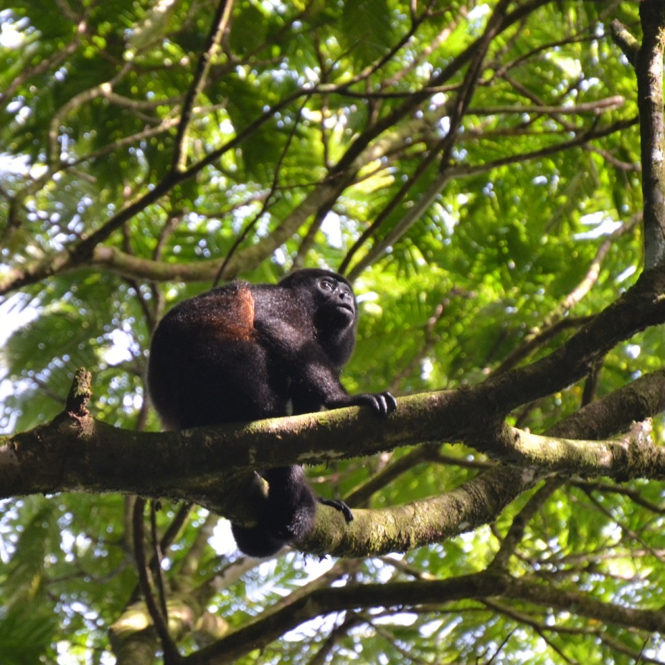 Mantled Howler Monkey.
