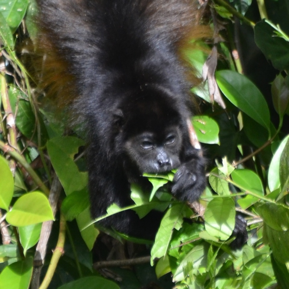 Mantled Howler Feeding 2