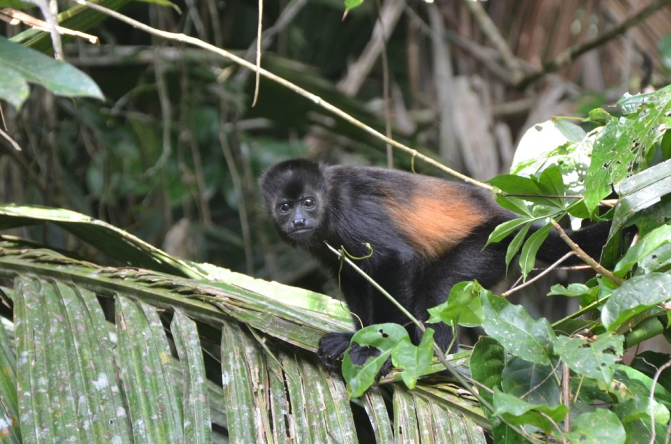 Mantled Howler Staring