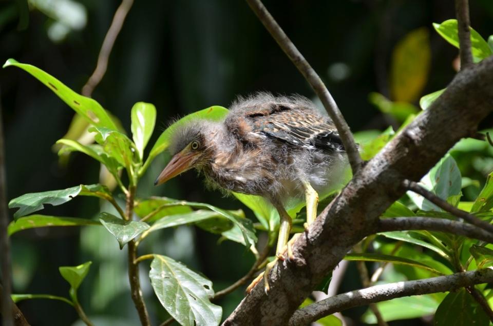 Baby Green Heron.