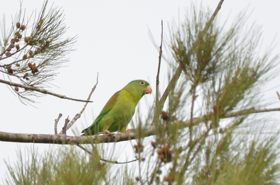 Orange-chinned Parakeet.