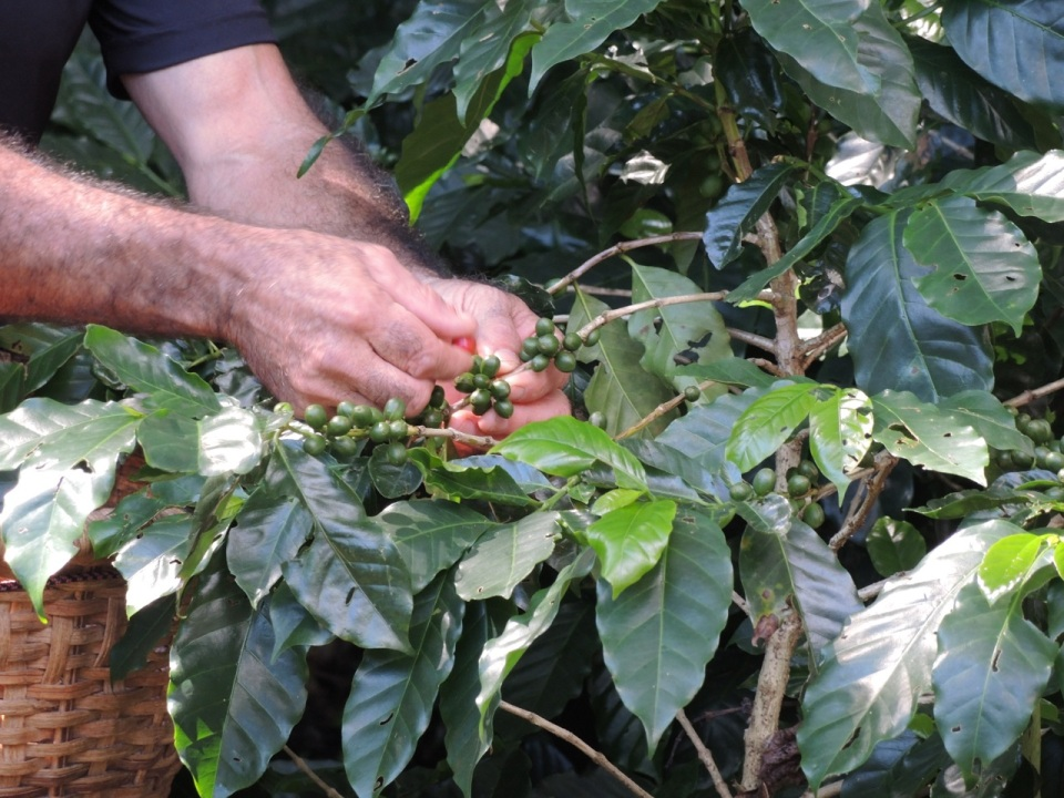 Picking coffee.