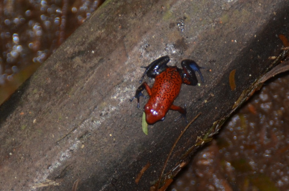 Strawberry Poison Dart Frog.