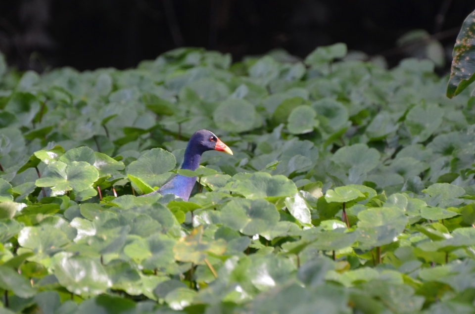 Purple Gallinule.