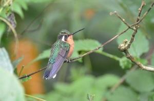 Female Purple-throated Mountain Gem