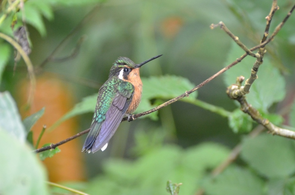 Female Purple-throated Mountain Gem