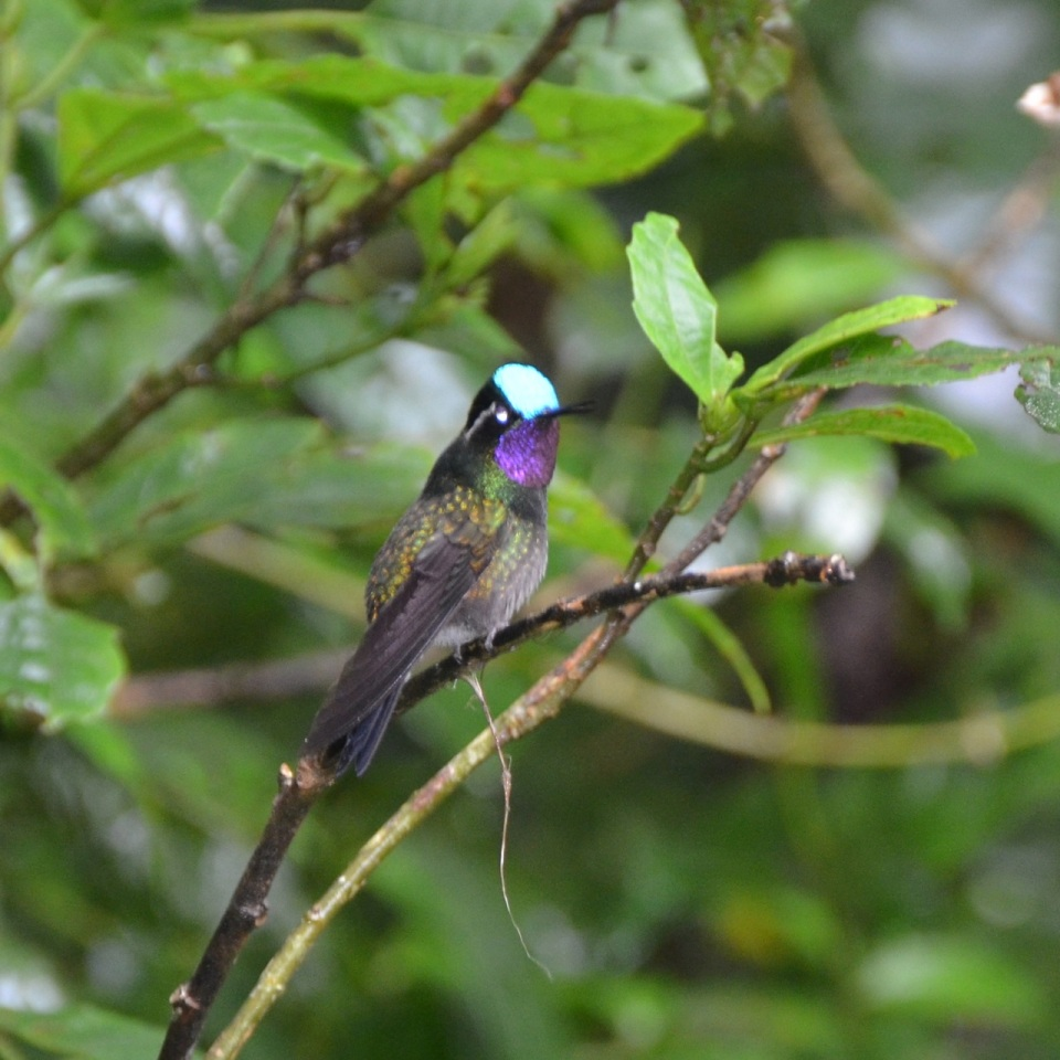Male Purple-throated Mountain Gem