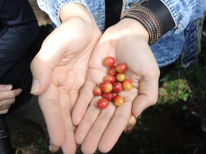 Ripe coffee fruit.