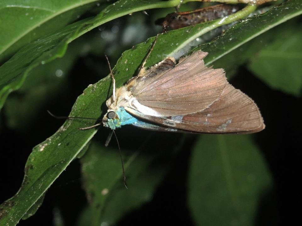 Hesperidae - Skipper.