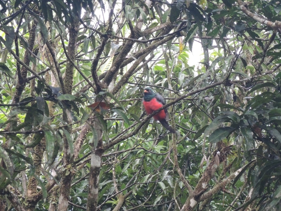 Slaty-tailed Trogon (male).