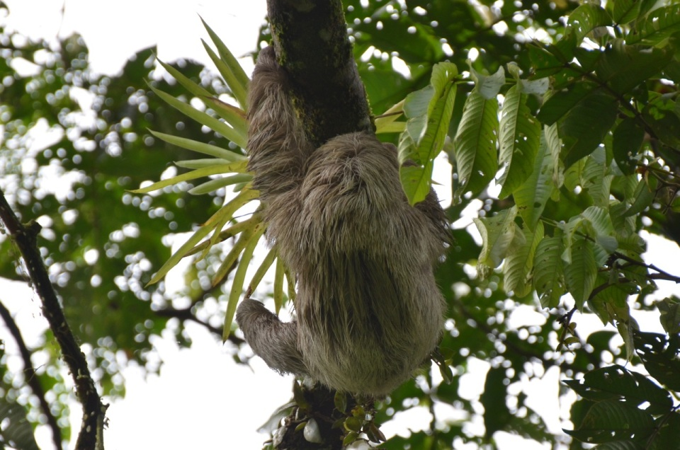Adult Three-toed Sloth.