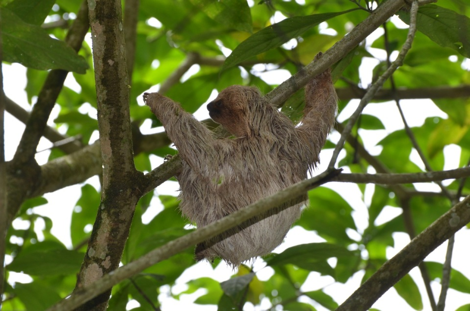 Juvenile Three-toed Sloth.
