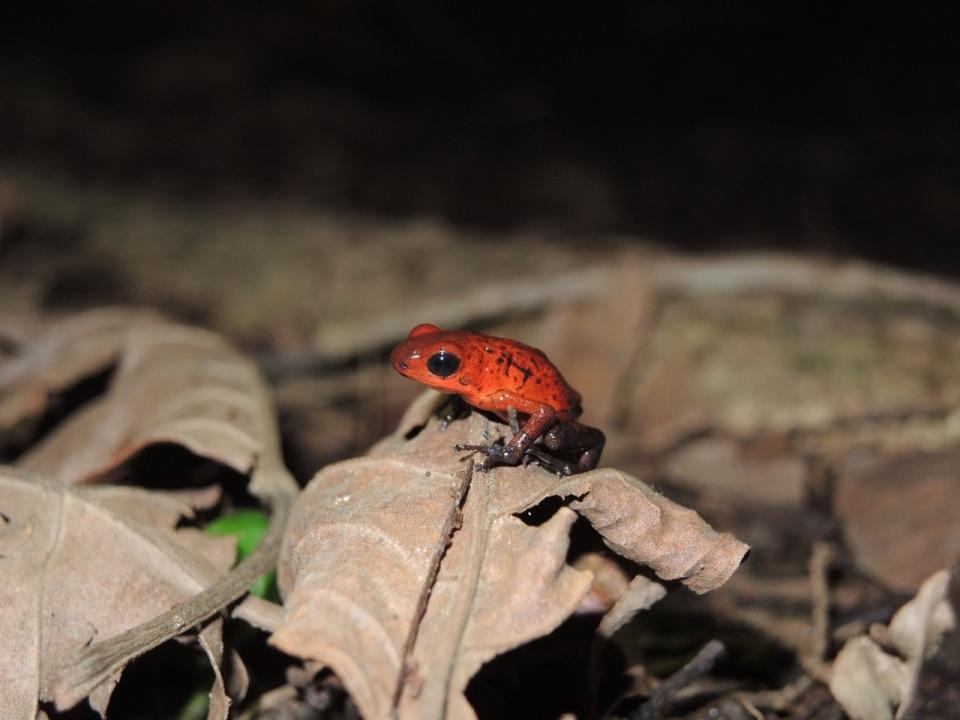 Strawberry Frog 2
