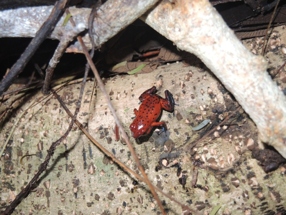 Strawberry Frog