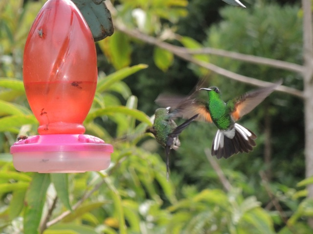 Male Stripe-tailed Hummingbird.