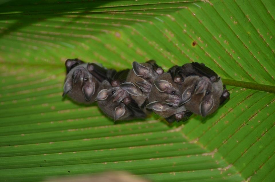 Tent Leaf Bats 3