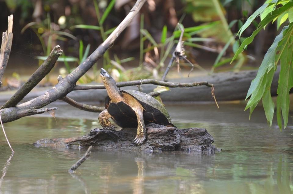 Large turtle.