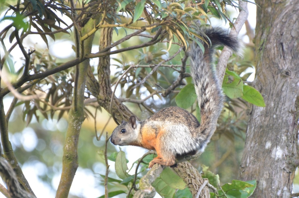 A Variegated Squirrel.