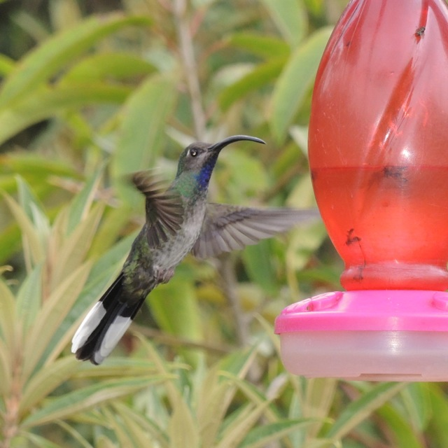 Female Violet Sabrewing.