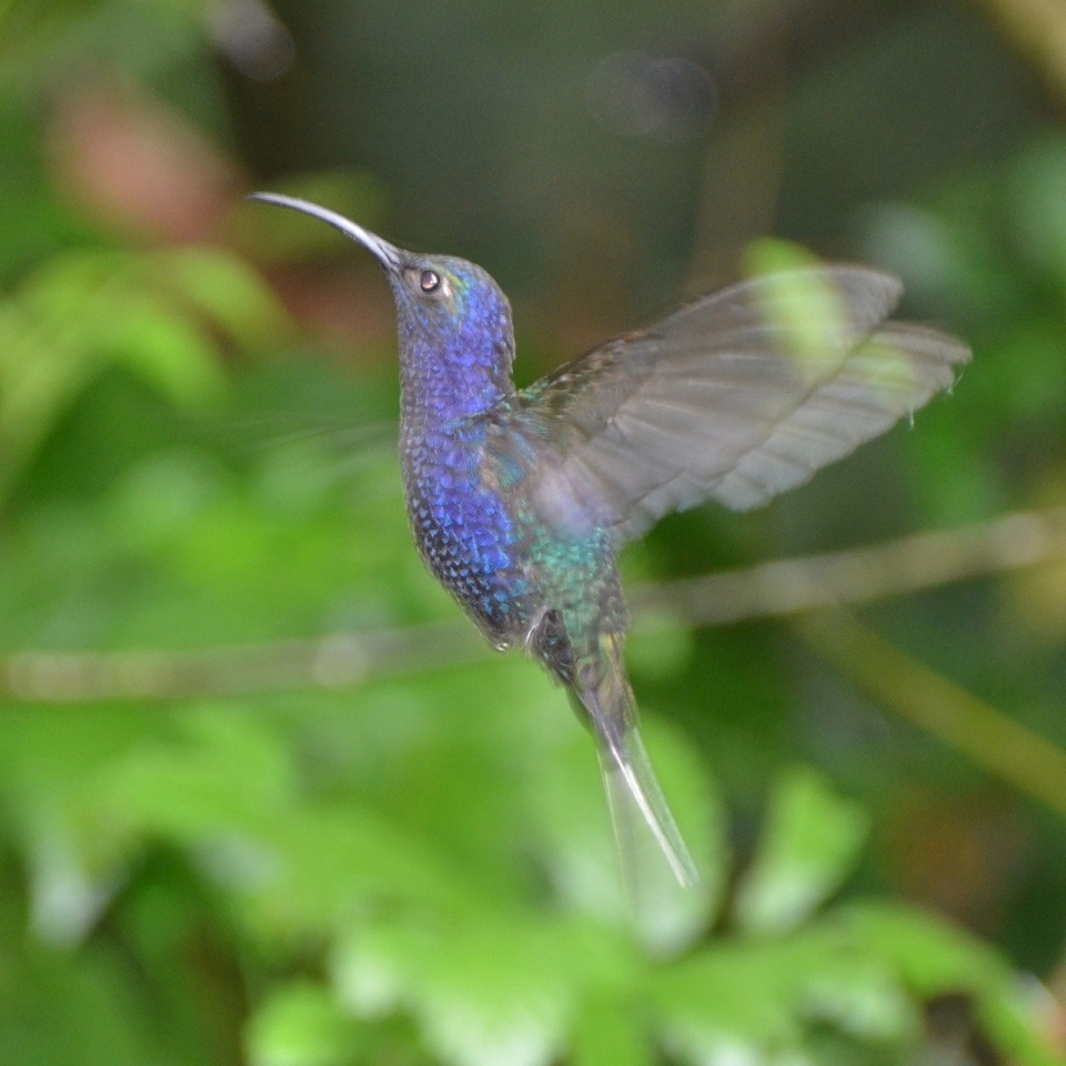 Male Violet Sabrewing