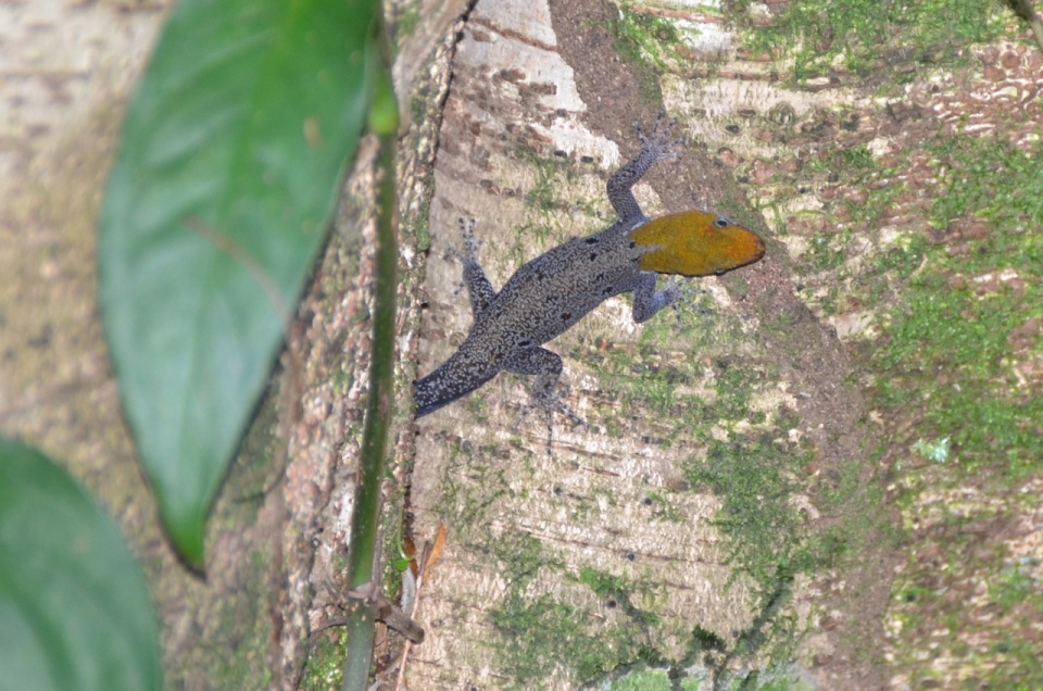 Yellow-headed Gecko.