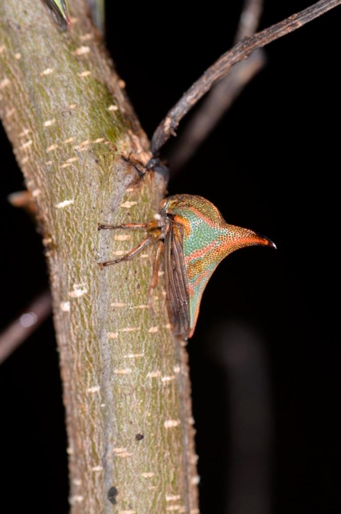 Membracidae 2